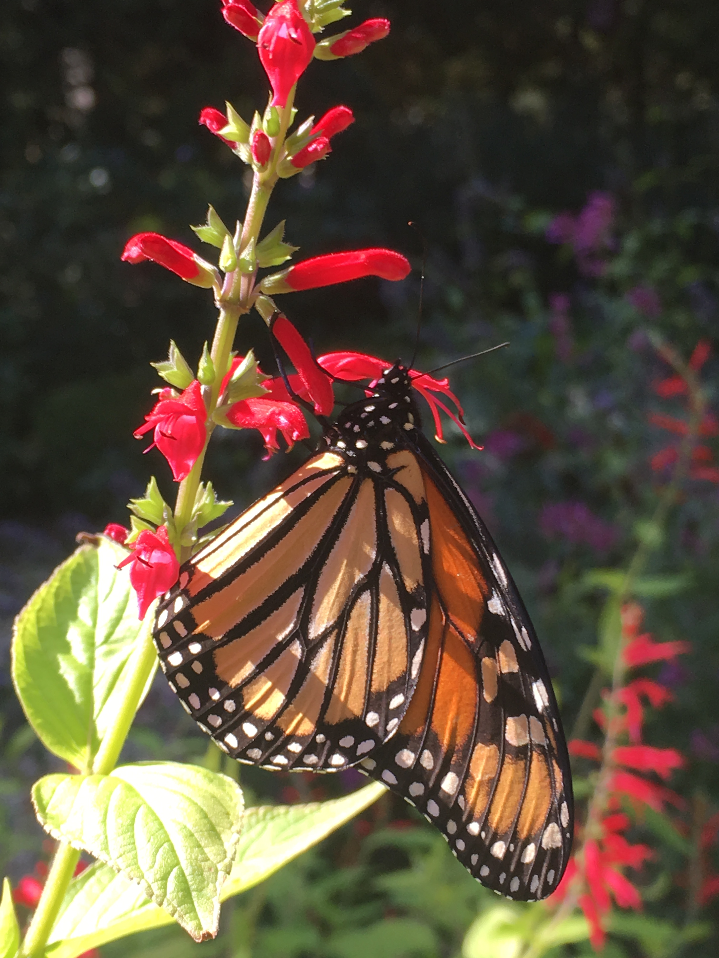 Pineapple Sage and Monarch Butterfly at Durrand Hedden Herb Garden 2017